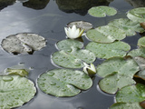 Pond with Waterlily Photographic Print by Anna Miller