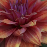 Dahlia Abstract Photographic Print by Anna Miller