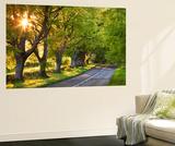 Beech Tree Lined Road in Evening Sunshine, Wimborne, Dorset, England. Spring Wall Mural by Adam Burton