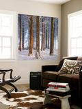 Snow Covered Pine Woodland, Morchard Wood, Morchard Bishop, Devon, England. Winter Wall Mural by Adam Burton