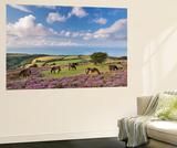 Exmoor Ponies Grazing on Heather Covered Moorland on Porlock Common, Exmoor, Somerset Wall Mural by Adam Burton