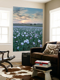 Opium Poppies Flowering in a Dorset Field, Dorset, England. Summer (July) Wall Mural by Adam Burton