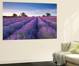 Lavender Field at Dawn, Somerset, England. Summer (July) Wall Mural by Adam Burton