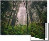 Back to the Trees, California Coastal Redwoods Affiches par Vincent James