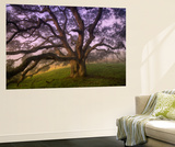 Majestic Wild Oak, Petaluma, California Wall Mural by Vincent James