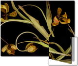 Wilted Yellow Tulips Prints by Anna Miller