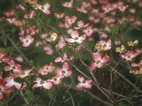 Pink Dogwood Blooms Metal Print by Anna Miller