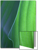 Hosta Leaf Abstract Poster by Anna Miller