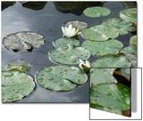 Pond with Waterlily Plakat av Anna Miller