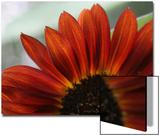 Red Sunflower Closeup Posters by Anna Miller