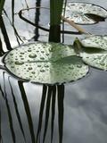Bassin aux nymphéas Reproduction sur métal par Anna Miller