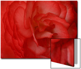Red Begonia Abstract Posters by Anna Miller