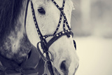 Muzzle of A White Horse in A Harness. Photographic Print by  AZALIA