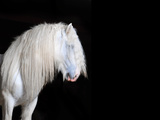 White Shire Horse with Black Background Photographic Print by  i_love_nature