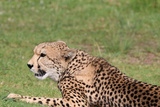 Cheetah Photographic Print by  benshots