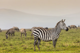 Zebra in National Park. Africa, Kenya Posters by Curioso Travel Photography