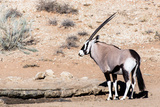 Gemsbok, Oryx Gazella Photographic Print by  Artush