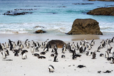 African Penguins on Boulders Beach Photographic Print by  tang90246