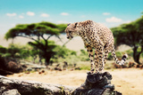 A Wild Cheetah about to Attack, Hunt, Sitting on a Dead Tree. Safari in Serengeti, Tanzania, Africa Photographic Print by PHOTOCREO Michal Bednarek