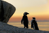 African Penguins Print by  SURZ