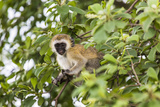 Vervet Monkey (Cercopithecus Aethiops) Sitting in A Tree, South Africa Photographic Print by Curioso Travel Photography