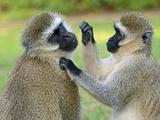 Vervet Monkey Photographic Print by  Kyslynskyy
