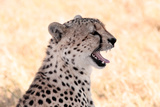 Cheetah N the Masai Mara Reserve in Kenya Africa Print by  OSTILL
