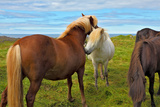 Beautiful and Well-Groomed Horse Chestnut and White Suit on Free Ranging. Icelandic Horses on the S Photographic Print by  kavram