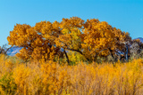 Beautiful Fall Foliage on Cottonwood Trees along the Rio Grande River in New Mexico. Photographic Print by Richard McMillin