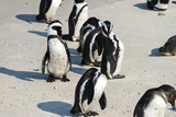 African Penguins at Simonstown (South Africa) Print by  HandmadePictures