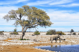 African Elephant at Water Pool in Etosha National Park Prints by  Checco
