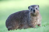 Cute Rock Hyrax Animal Photographic Print by Four Oaks