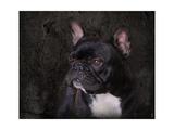 Black French Bulldog Portrait Giclee Print by Jai Johnson