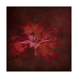Japanese Maple Giclee Print by Jai Johnson