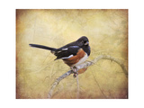 Eastern Towhee Portrait Giclee Print by Jai Johnson