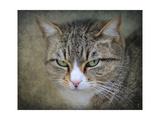 Gray Tabby Cat Portrait Giclee Print by Jai Johnson