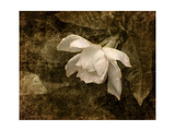 Cape Jasmine Gardenia 2 Giclee Print by Jai Johnson