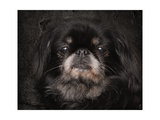 Black Pekingese Portrait Giclee Print by Jai Johnson