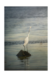 Great White Egret at Sunrise Giclee Print by Jai Johnson
