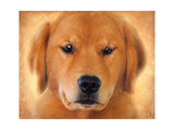 Golden Retriever Portrait Giclee Print by Jai Johnson
