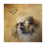 Butterfly Dreams Pomeranian Giclee Print by Jai Johnson