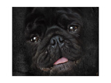 Black Pug Portrait Giclee Print by Jai Johnson