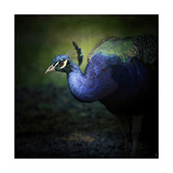Peacock 1 Giclee Print by Jai Johnson