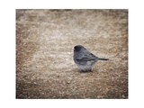 Tiny Junco in a Big World Giclee Print by Jai Johnson