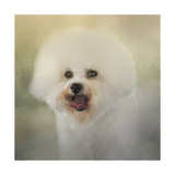 Little Cotton Ball Bichon Frise Giclee Print by Jai Johnson