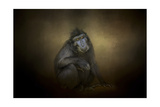 Portrait of a Savannah Baboon Giclee Print by Jai Johnson