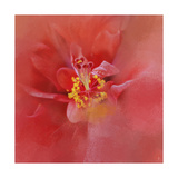 Salmon Hibiscus 1 Giclee Print by Jai Johnson
