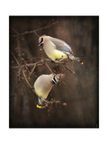 Peek a Boo Cedar Waxwings Giclee Print by Jai Johnson
