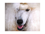 White Standard Poodle Portrait Giclee Print by Jai Johnson