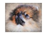 Pomeranian Portrait Giclee Print by Jai Johnson